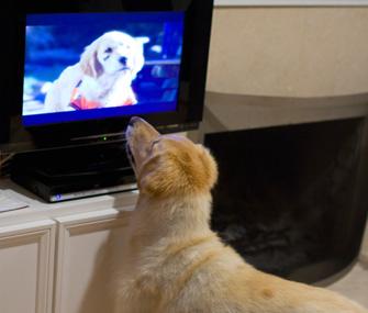 สุนัขดูทีวี